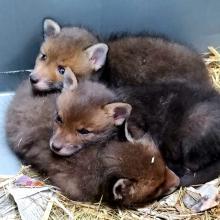 nest vossen welpen
